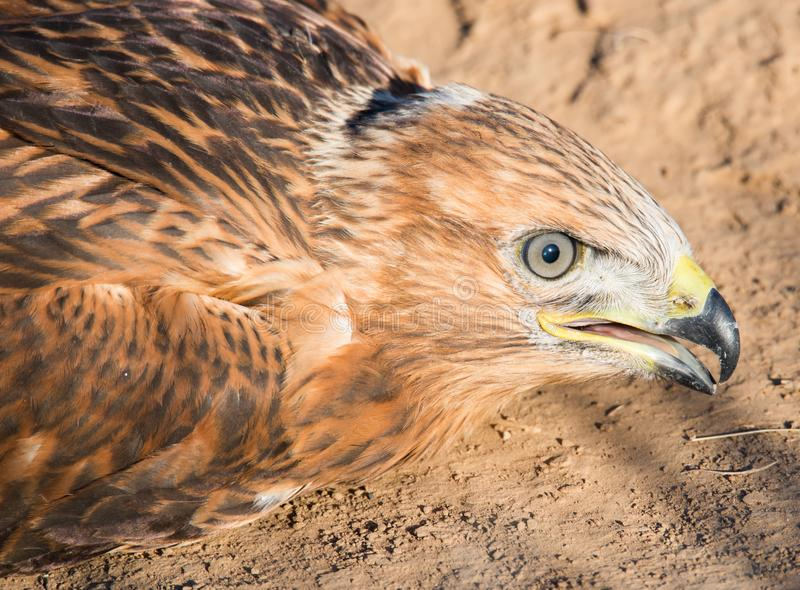 The look of a young eagle. stock image