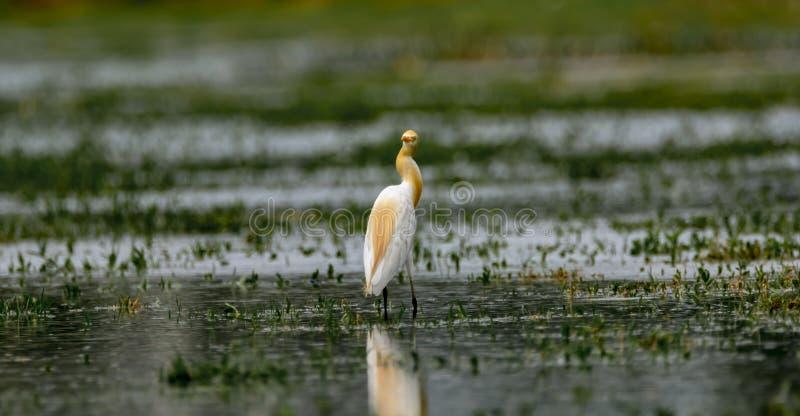Lookback: Bydło Egret, Bubulcus ibis w lęgowym upierzeniu/ zdjęcia stock