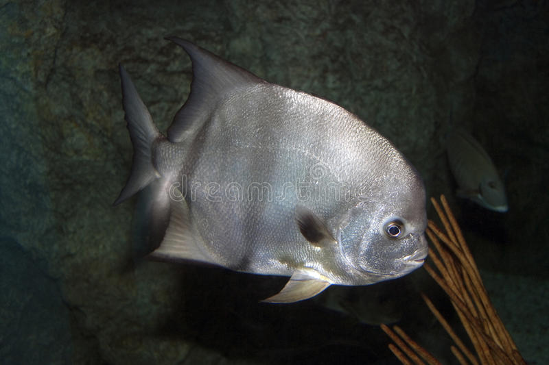 Lookdown Fish. A close photo of a silver Lookdown Fish stock image