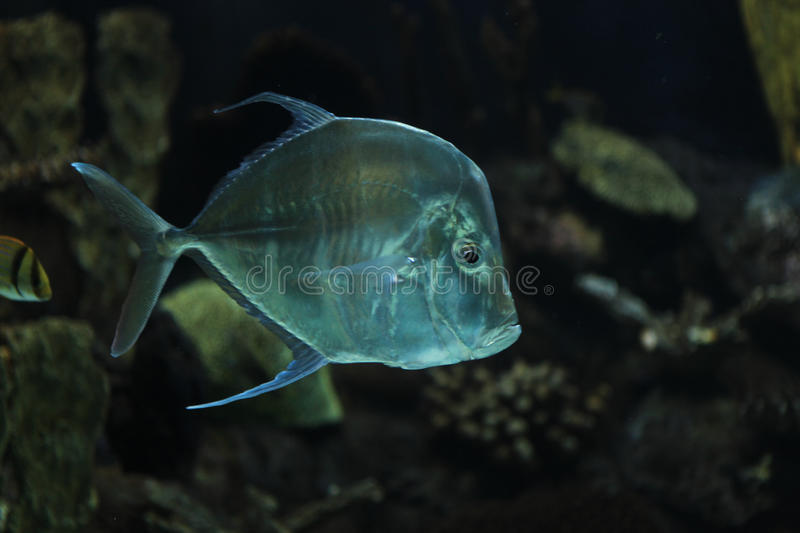 Lookdown fish. Lookdown with colorful fish in a aquarium royalty free stock photography