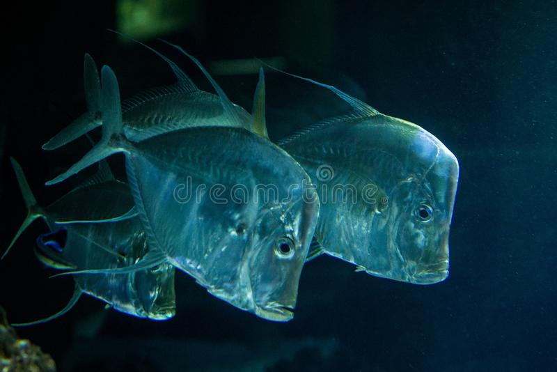 Lookdown Selene vomer, tropical aquarium with fish, Salt water marine fish, interesting american silver fish. Lookdown Selene vomer, tropical aquarium with fish royalty free stock photo