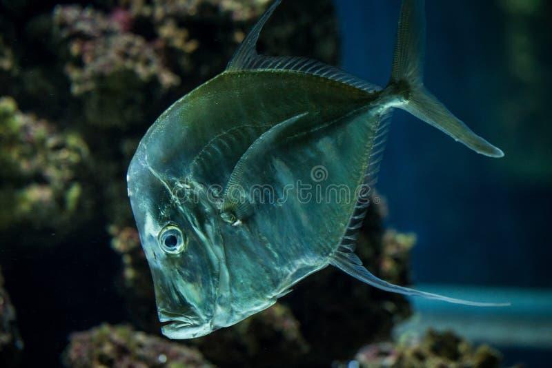Lookdown Selene vomer, tropical aquarium with fish, Salt water marine fish, interesting american silver fish. Lookdown Selene vomer, tropical aquarium with fish stock images