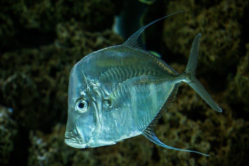 Lookdown Selene vomer, tropical aquarium with fish, Salt water marine fish, interesting american silver fish. Lookdown Selene vomer, tropical aquarium with fish stock image