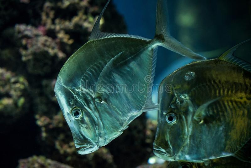 Lookdown Selene vomer, tropical aquarium with fish, Salt water marine fish, interesting american silver fish. Lookdown Selene vomer, tropical aquarium with fish royalty free stock photos