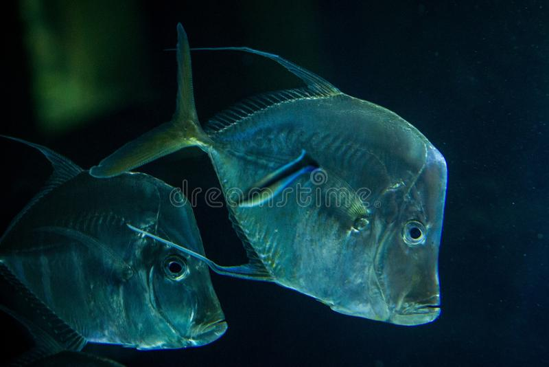 Lookdown Selene vomer, tropical aquarium with fish, Salt water marine fish, interesting american silver fish. Lookdown Selene vomer, tropical aquarium with fish royalty free stock photography