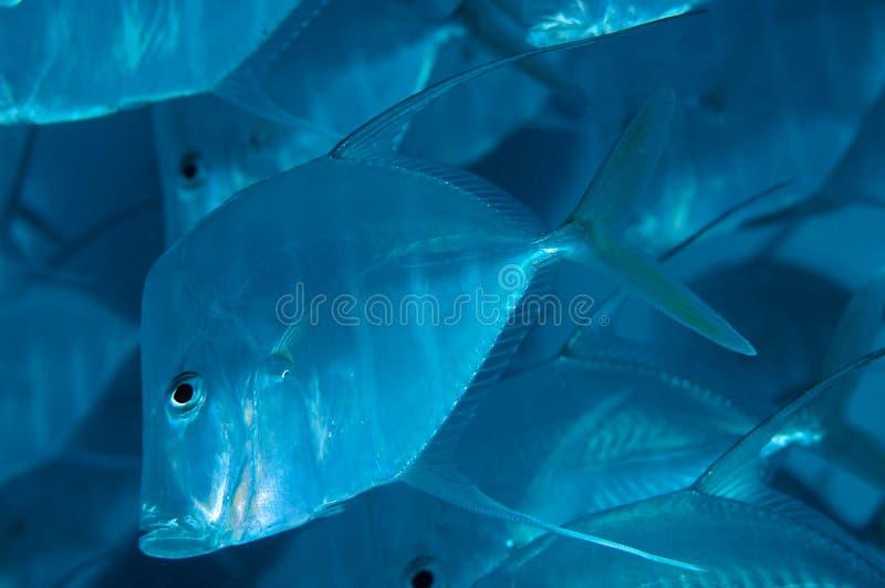 Lookdowns-Selene volmer. Lookdown fish, picture taken under Deerfield Pier, Florida royalty free stock photography