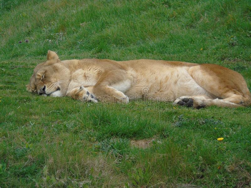 Lookin da leoa tão peluches foto de stock royalty free