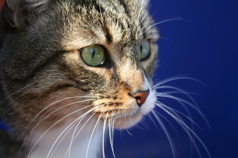 Download Looking stock photo. Image of white, fauna, mammal, whiskers - 152616