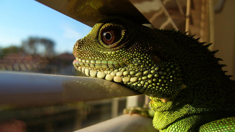 Looking Agama Stock Images
