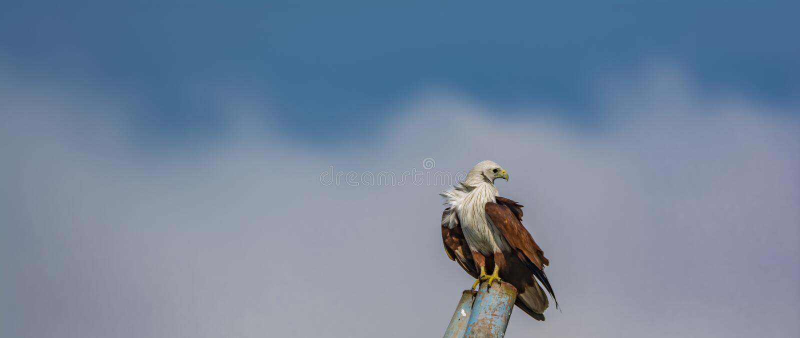 Looking back : Brahminy Kite or the Haliastur Indus. The brahminy kite, also known as the red-backed sea-eagle in Australia, is a medium-sized bird of prey in stock photo