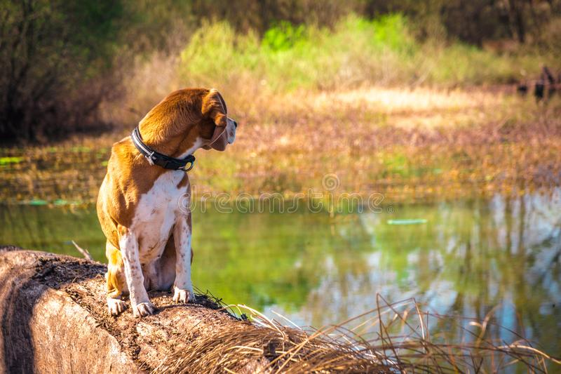 Looking back portrait of pure breed beagle dog seated at trunk lakeside stock images