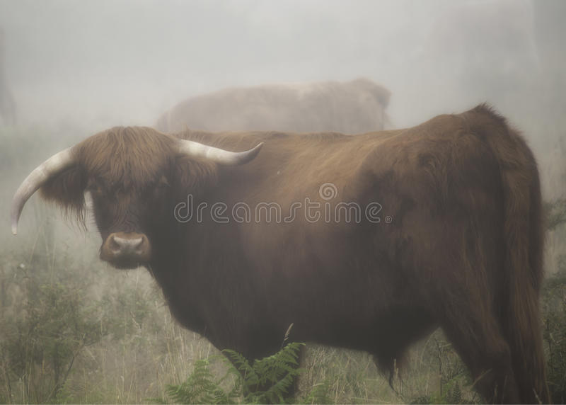 Download Looking bull stock photo. Image of morning, horns, farm - 21269376