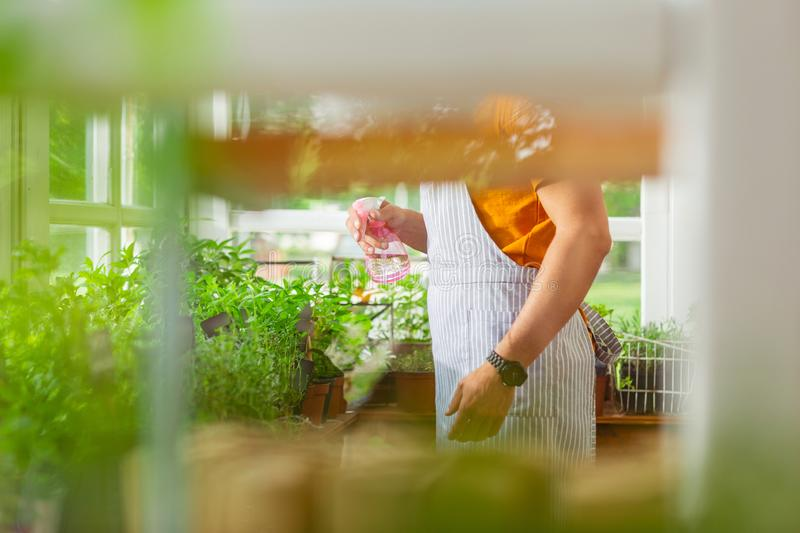 Sprinkling can in hands of a florist. Looking closer. Pink sprinkling can with water in hands of a florist spraying plants in his shop royalty free stock photos