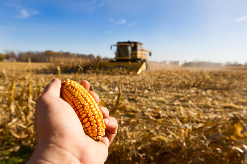 Looking For Corn Stock Photos