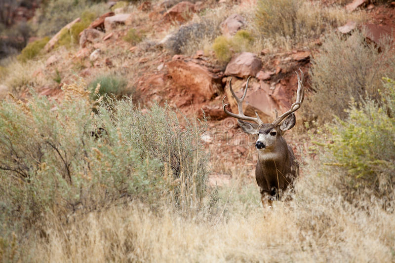 Looking Deer