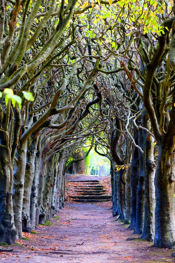 Looking down the centre of a tree lined pathway. Looking down the middle of a tree lined pathway, the treea are old a knarled the top of the trees are wound royalty free stock photos