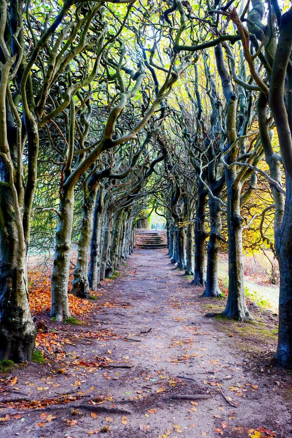 Looking down the centre of a tree lined pathway. Looking down the middle of a tree lined pathway, the treea are old a knarled the top of the trees are wound royalty free stock photo