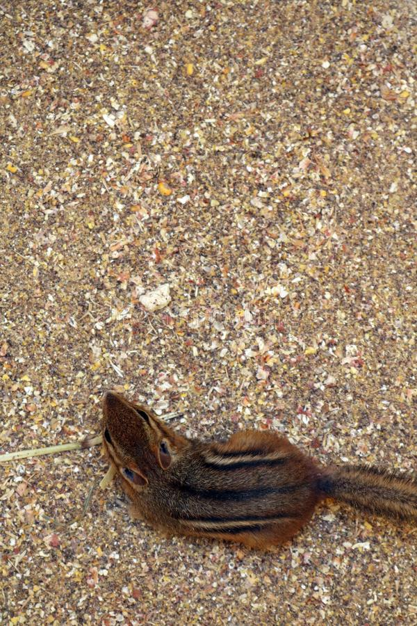 Looking down on a chipmunk standing on grain and corn chop royalty free stock images