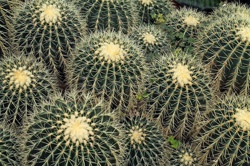 Looking Down at a Collection of Barrel Cactus royalty free stock photo