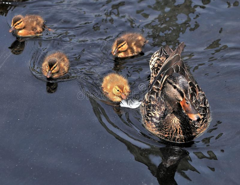 Looking down on the Ducklings stock photography