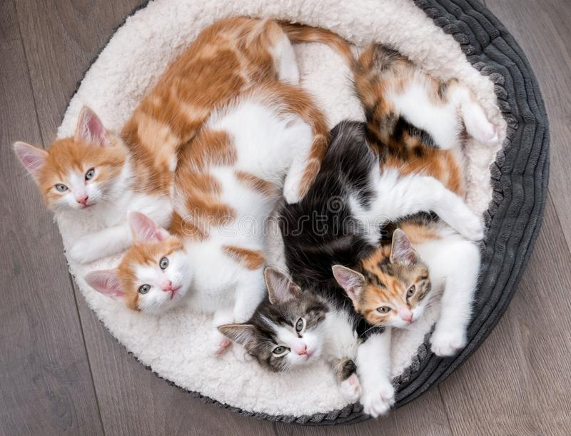 Kittens in a fluffy white bed. Looking down at four fluffy kittens in a white bed stock photography