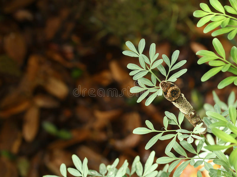 Looking down at a giant swallowtail eating a Rue plant stock photo