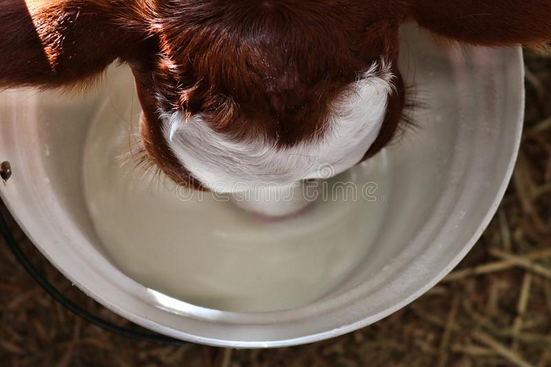 Red Holstein Calf Learning to Drink from a Pail. Looking down on the head of a red and white young Holstein calf a few days old drinking milk from a white pail stock photos