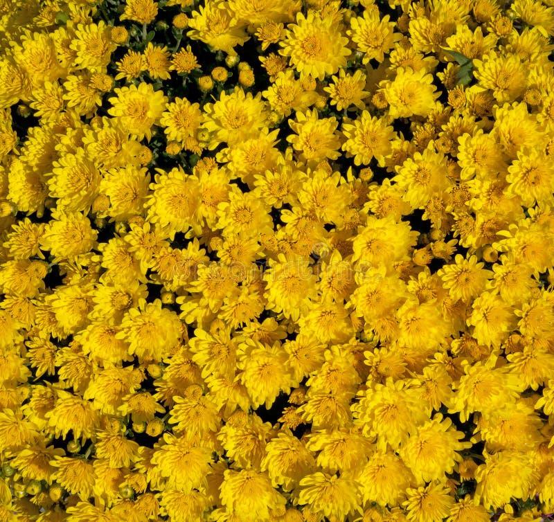Golden Yellow Mums Stock Photos