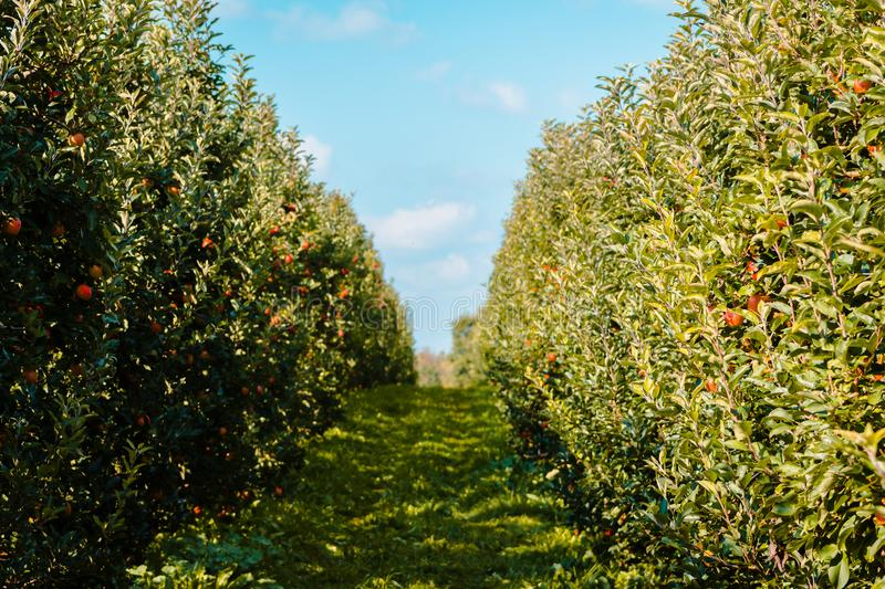 Looking down a row of apple trees at an orchard royalty free stock photography