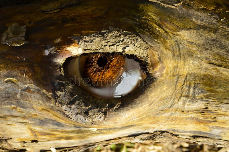 Looking eye from a tree stock photo