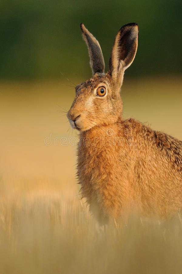 Looking Forward. This hare i can shoot on a beautiful sunday morning with blue sky and very nice temperature. You can see the sunrise and blue sky in his eye royalty free stock photos