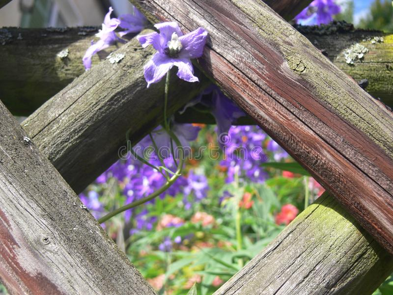 Wooden fence with blue garden flowers with focus on foreground. Looking through the garden fence into the flowerbed, hunter fence with visible wood grain, joy of royalty free stock image