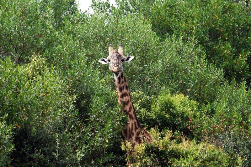 Looking giraffe. A giraffe in the arusha park in tanzania stock image
