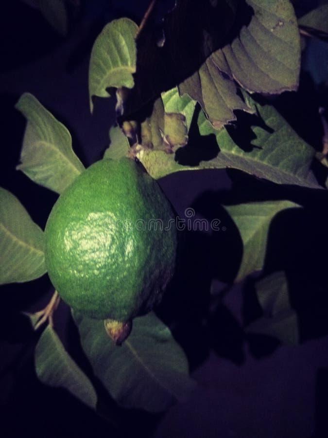 Night guava royalty free stock photo