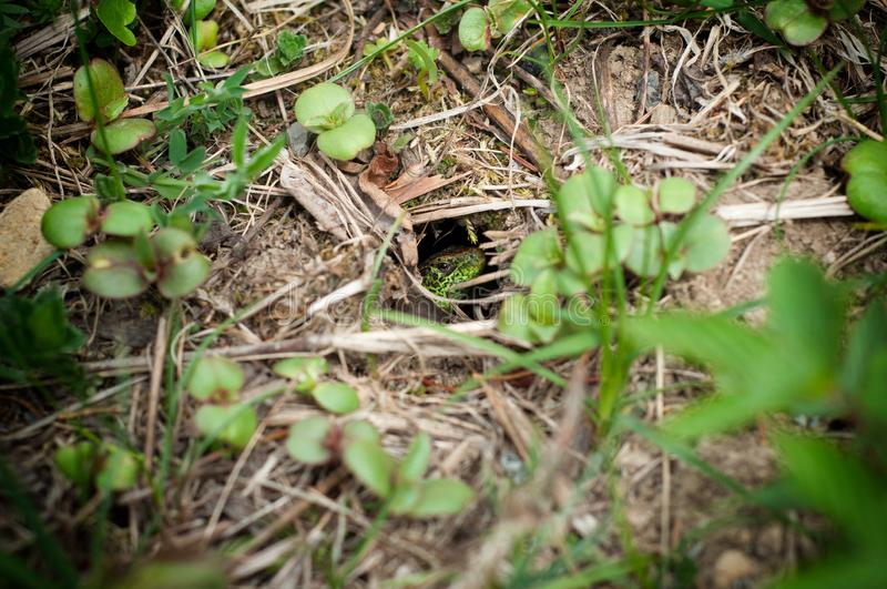 Looking green lizard in the hole. A lizard hiding in the grass in spring stock photography