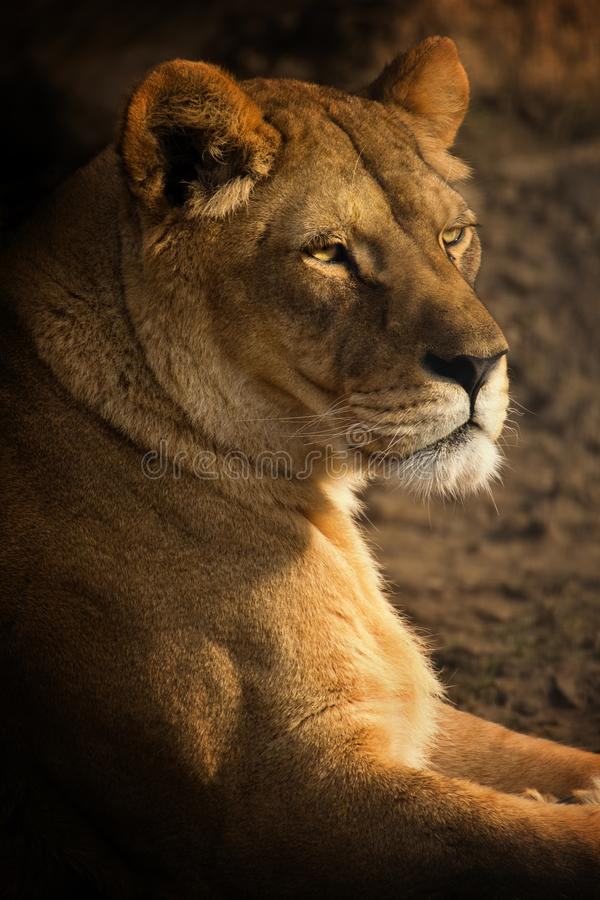 Looking Lioness. Colorful portrait of a lioness. Beautiful lioness royalty free stock photography