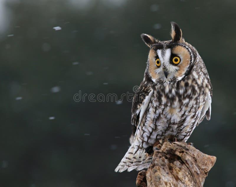 Looking Long-eared Owl