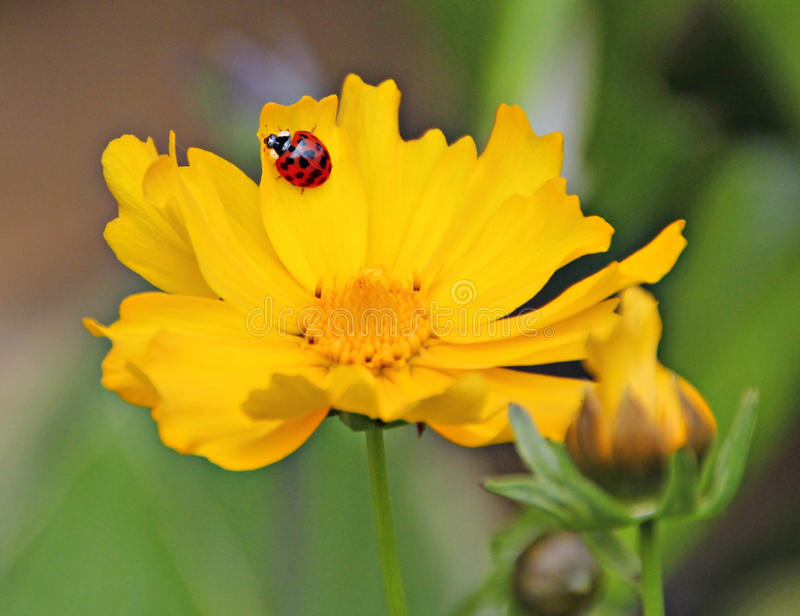 Looking for love bug. Photo of a pretty red ladybug looking for love on a summer yellow flower stock photography