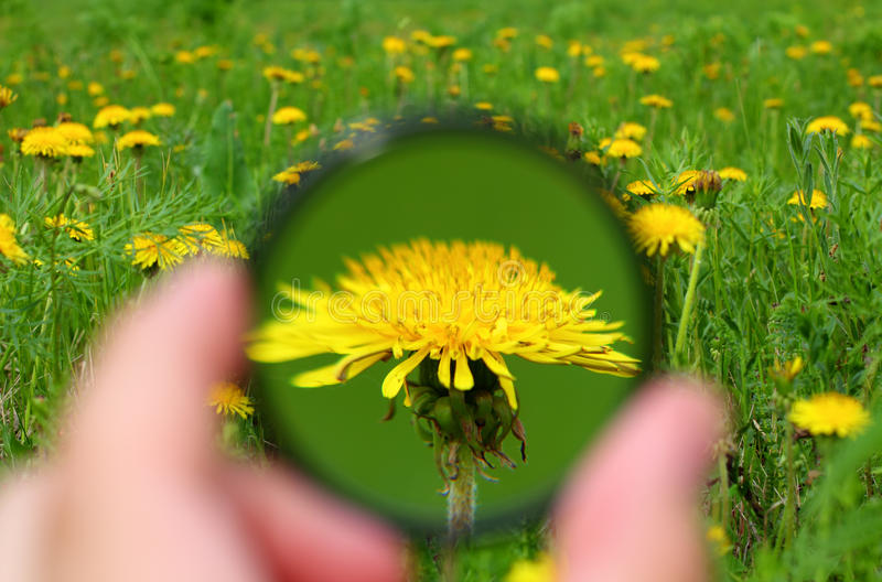 Looking through magnifier on dandelion. Looking close-up through magnifier on dandelion flower royalty free stock photos