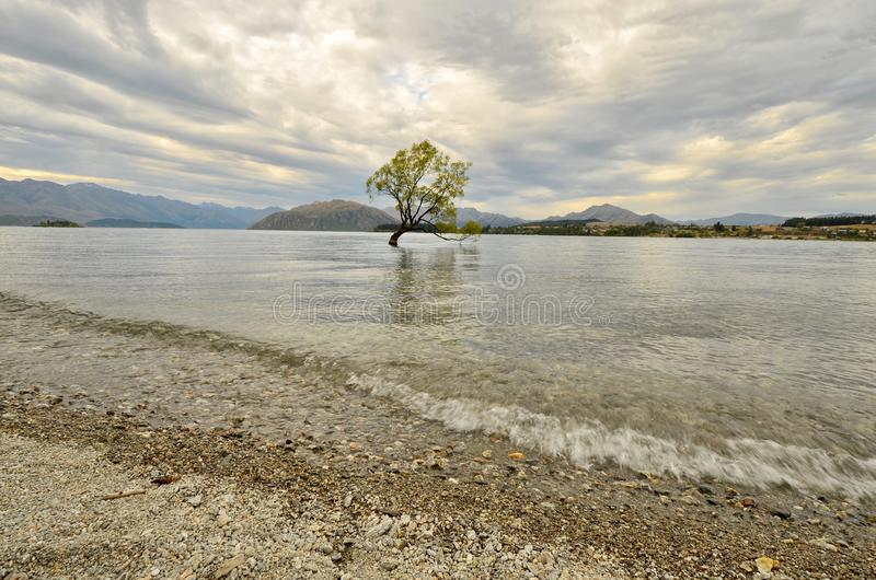 Lone Tree in Lake Wanaka. stock photography