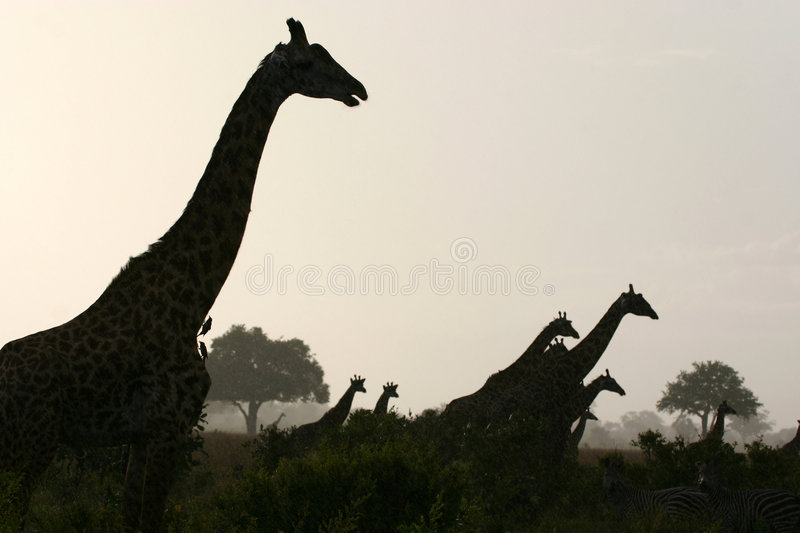 Download Looking Over The Plains stock image. Image of giraffe, trees - 3909