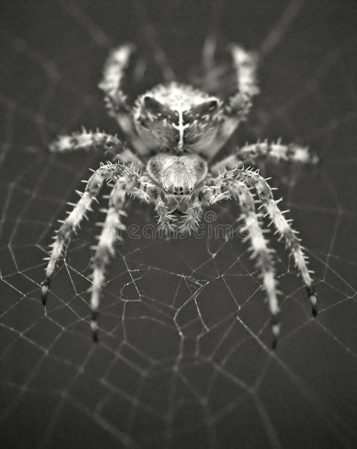 Looking Into a Spider's Eyes royalty free stock photo