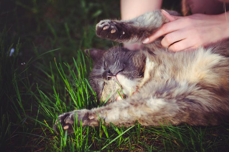 Looking for ticks on the cat, lying on the grass looking hands. protection of animals from parasites royalty free stock images