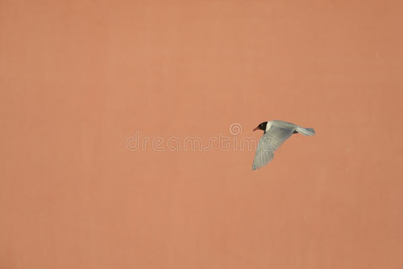 An adult Mediterranean gull Ichthyaetus melanocephalus in flight infront of a pink building in the port of Bremen Germany. Looking on top of an adult royalty free stock photo