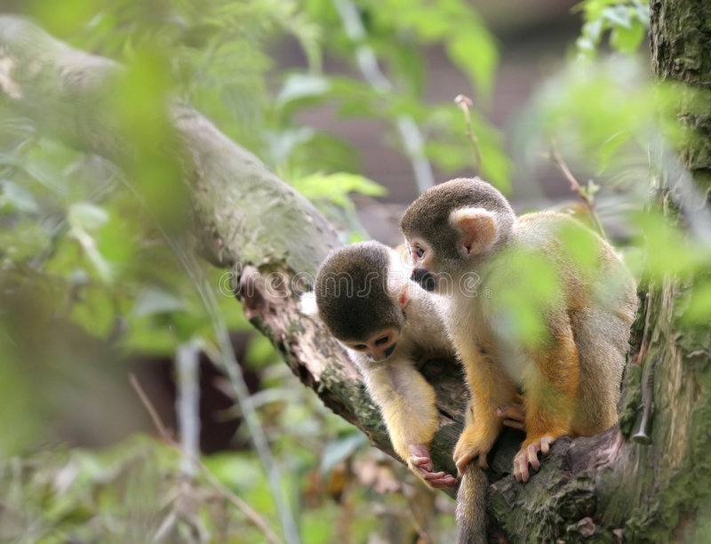Download Looking for trouble stock image. Image of saimiri, primates - 1054877