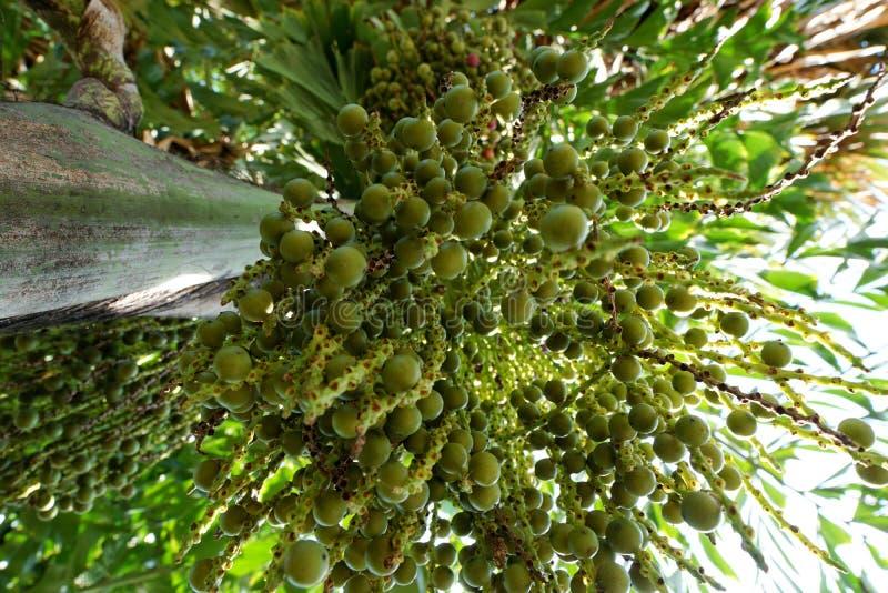 Looking up of Areca nut palm or Betel Nuts. Looking up, Inflorescence of Areca nut palm or Betel Nuts Supari Plant,Tamil Nadu,ARECACEAE, Thekkady, kerala stock photography