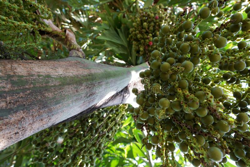 Looking up of Areca nut palm or Betel Nuts. Looking up, Inflorescence of Areca nut palm or Betel Nuts Supari Plant,Tamil Nadu,ARECACEAE, Thekkady, kerala stock photos