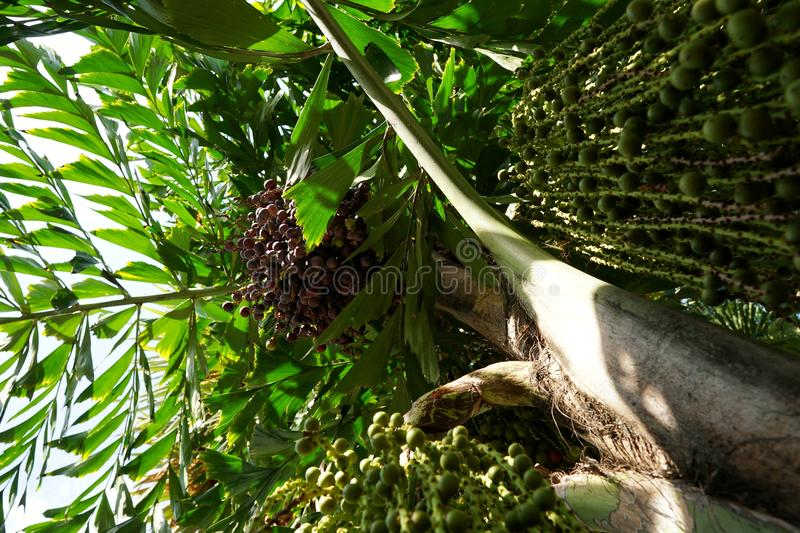 Looking up of Areca nut palm or Betel Nuts. Looking up of Areca nut palm or Betel Nuts Supari Plant,Tamil Nadu,ARECACEAE, Thekkady, kerala, Ecological Concept royalty free stock image