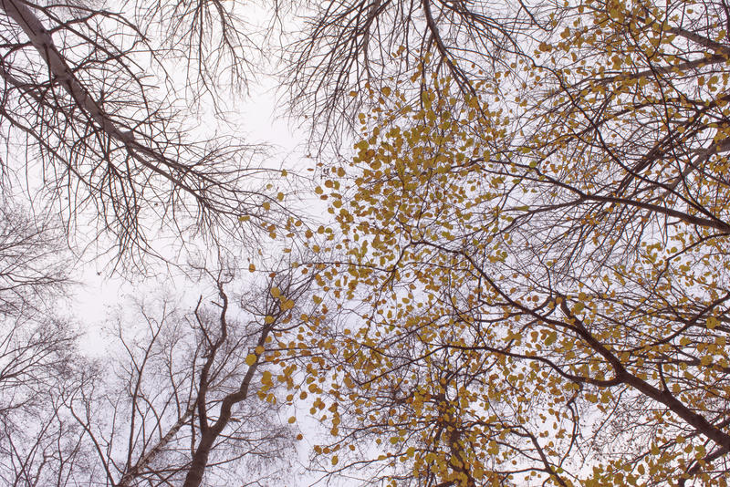 Looking up at autumn trees and branches. Some naked, some with colorful yellow and red fall leaves stock images