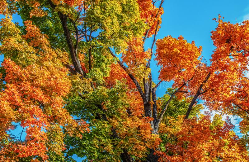 Looking up at autumn trees filling the frame with vibrant multi-colored all leaves against a brilliant blue sky.  royalty free stock photos